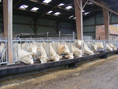 vaches baie de somme