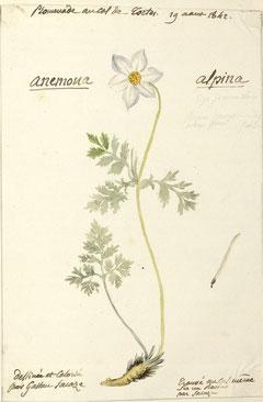 L'Anémone des Alpes (dessin de Pierrine)