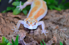 0.1 White & Yellow Tremper Albino poss. het. Eclipse (Emma)