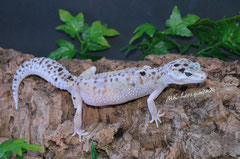 0.1 Mack Snow White & Yellow het. Tremper Albino (Eleanor)