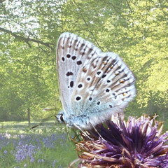 Chalkhill blue butterfly superimposed on a woodland scene