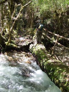 atravezando un puente (árbol) sobre río muy correntoso en el Parque Nacional Alerce Andino fot. a.núñez