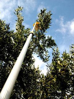 Olivenernte-Ernte über Kopf