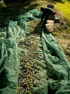 Oliven am laufenden Meter!