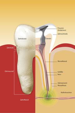 Zahnarzt Wurzelbehandlung (Zahnwurzelentzündung): Aufbau eines Zahnes (© proDente e.V.)