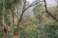 Wildkaffeepflanzung