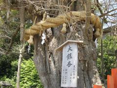 Der 1000-jährige Ginko-Baum