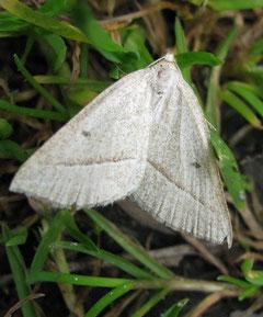 Moorwald-Adlerfarnspanner (Petrophora chlorosata)