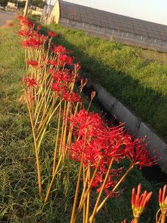 9月20日 咲き揃った彼岸花