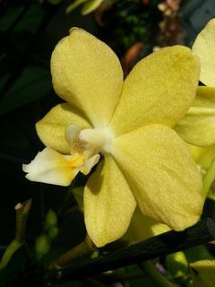 orchideen die sonne orchideeng rtnerei alois putzer floricoltura di orchidee. Black Bedroom Furniture Sets. Home Design Ideas