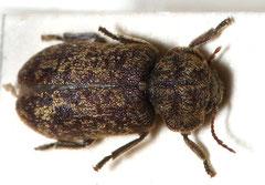 Asian longhorn beetle (Xestobium Rufovillosum)