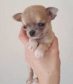 PUPPIES CHIHUAHUA FOR SALE ! - berhofs Jimdo-Page!