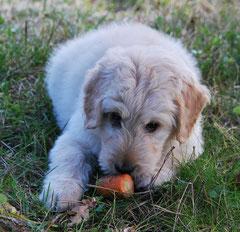 Hund mit Karotte. Quelle: Pixabay
