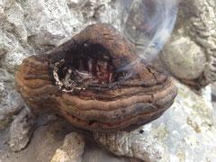 Baumpilz für Feuertransport