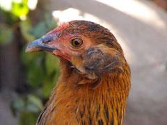 Arete! Criadero Aves Longavi (Chile)