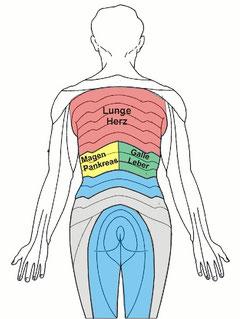 Die Organe der Brustwirbelsäule
