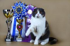 Шотландская вислоухая кошка (скоттиш фолд)