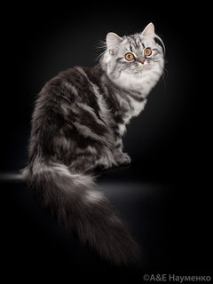 Шотландская длинношерстная кошечка ( хайленд страй) окрас черный серебристый мраморный. SFL ns 22