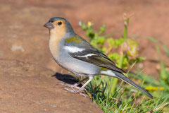 Männchen des Madeira-Buchfink
