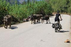 Eine Kuh macht Muh. Viele Kühe machen ...?