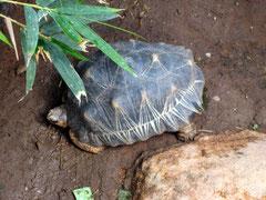 """Une tortue """"étoilée"""""""