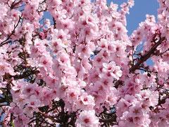 Mandelpfad, Mandelblüte im Frühling