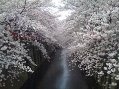 オフィス前(目黒川)
