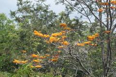 chêne soyeux d'Australie