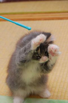 ノルウェージャンフォレスト子猫 美涼くん