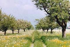 Riet - Pflege von ca. 600 Hochstammobstbäumen
