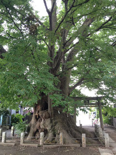 日枝神社(埼玉県さいたま市)のご神木