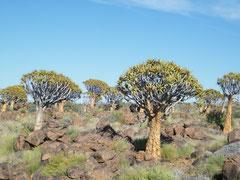 Der Köcherbaum ist eigentlich eine Aloe