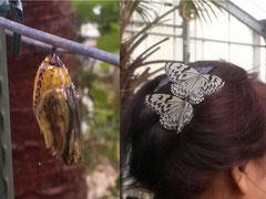 沖縄 平和祈念公園 清ら蝶園 ・ オオゴマダラとサナギ