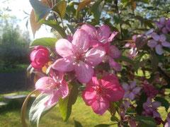 fleurs de pommier décoratif