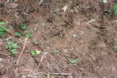 イノシシに掘られた地面