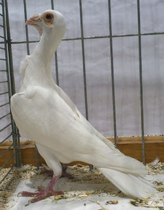 Mâle Blanc Yves Péreira