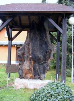 1000-jährige Mooreiche