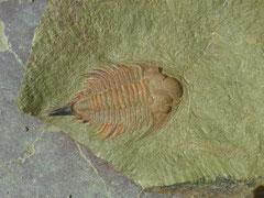 Longitud: 3 cm. Formación: Basal Upper Fezouata, Valle del Dra, cerca de Zagora.