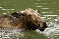Elch-Kuh, Banff N.P.
