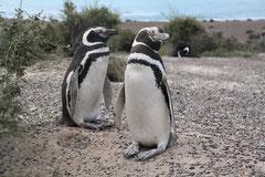 Magelan Pinguine am Cabo Tombo