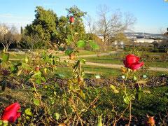 Parc Cervantes à Barcelone, les roses en fleurs fin décembre!