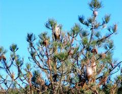 Un pin et des poches de soie désertées par des chenilles processionnaires