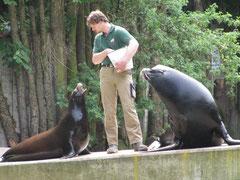 Fütterung der Seelöwen!
