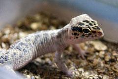 Hygiene Häutung Leopardgeckos