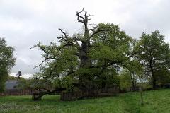 Le Chêne à Guillotin.