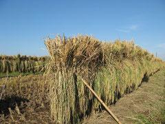 天日干しの風景やお米は希少になりました