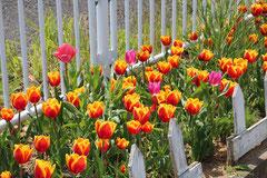 4月の視察にて 気仙沼五右衛門ヶ原仮設住宅できれいに咲いたチューリップ
