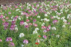 南相馬市雫地区の休耕田に種まきした花いっぱいミックスガーデン