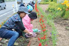 大槌バイパス沿い花壇でのたねダンゴの植付け