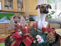 Whippet Weihnachten Advent